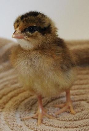 Hatching This Week: BrownLeghorns