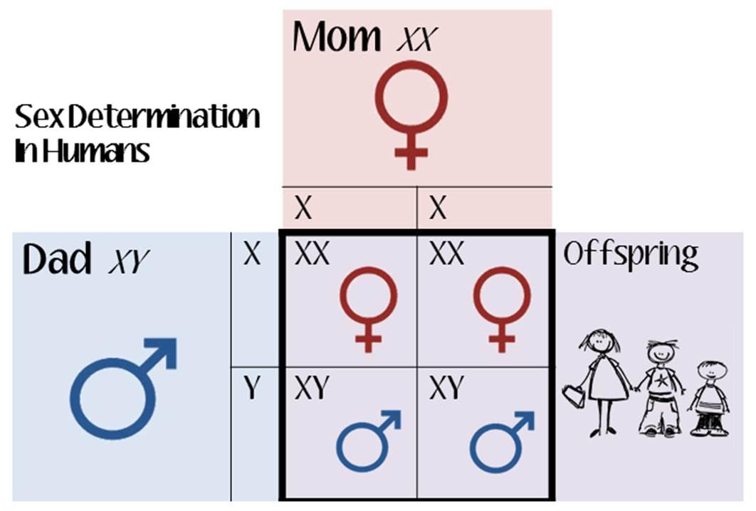humans in Multiple chromosomes sex