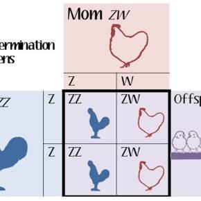 GMS5: Chicken Chromosomes
