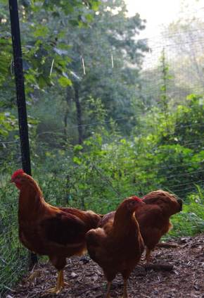 Four Poultry Pitfalls to Avoid on CommunityChickens