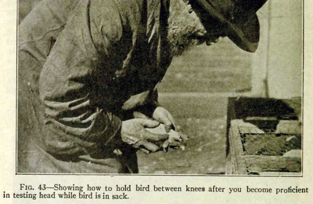 Walter Hogan measuring a hen for prepotency. Call of the Hen, 1921