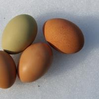 GMS1: Genetics of Egg Color