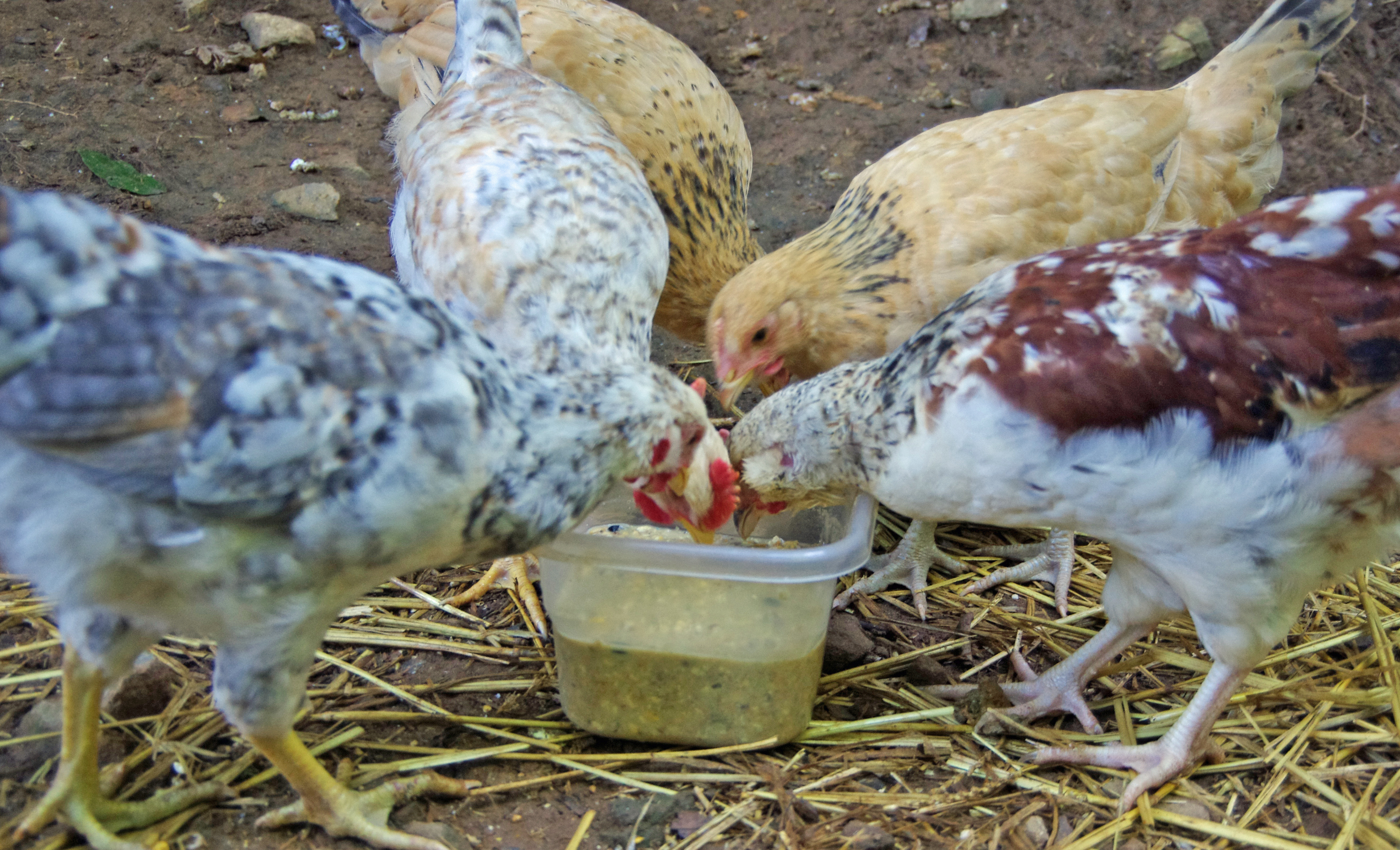 10 Foods To Ferment For Chickens Scratch Cradle