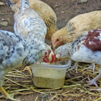 10 Foods to Ferment for Chickens