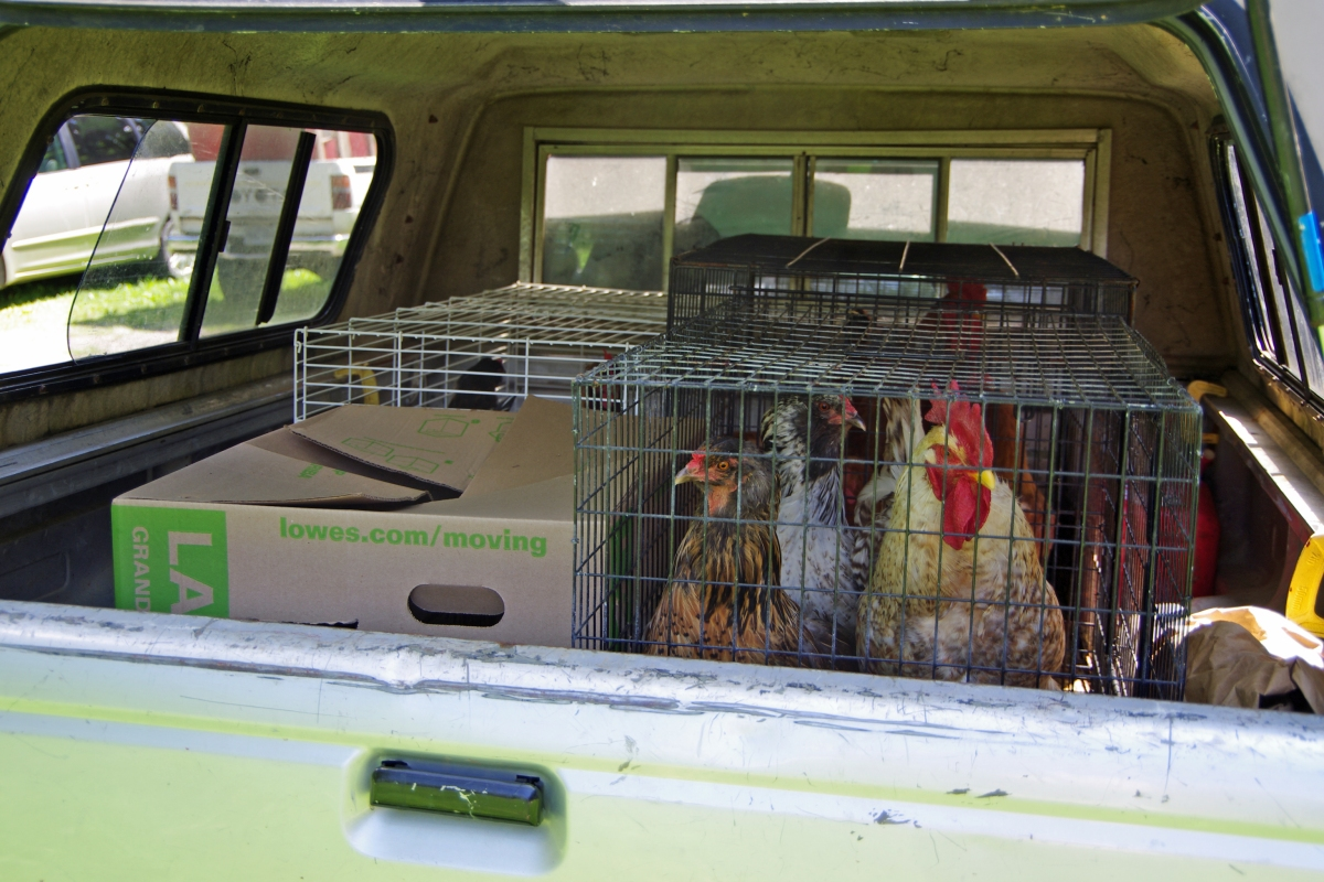 Moving with Chickens